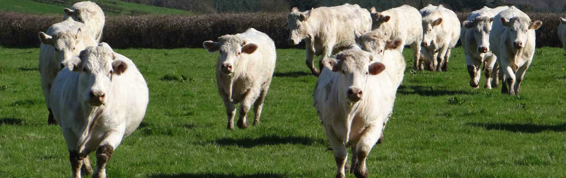 Éleveur de vaches charolaises à Chalon