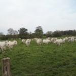 Éleveur de bovins à Chalon