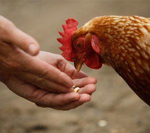 Producteur de poulet fermier à Chalon